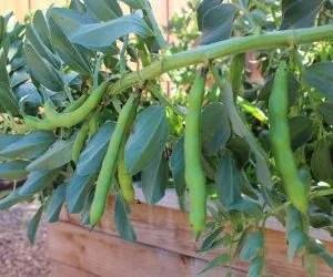 Semina delle fave-pianta piegata