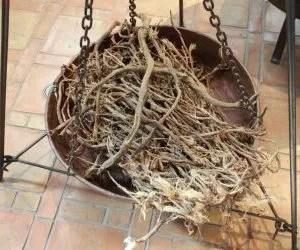 Proprietà delle radici essiccate di liquirizia
