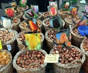 Mercato dei bulbi di tulipano olandesi