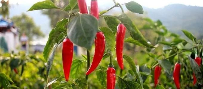 I peperoncini sott'olio, una ricetta gustosa e semplice