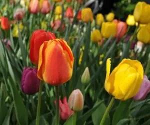 Bulbi di tulipani: conservazione e quando piantarli ...