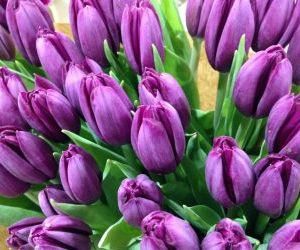 Tulipani olandesi varietà Blue diamond