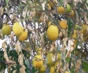 Pianta di limone malata