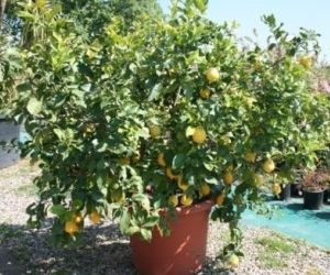 Albero di limone in vaso da giardino