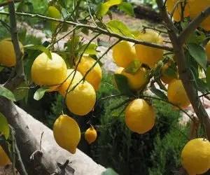 Rami e spine della pianta di limone