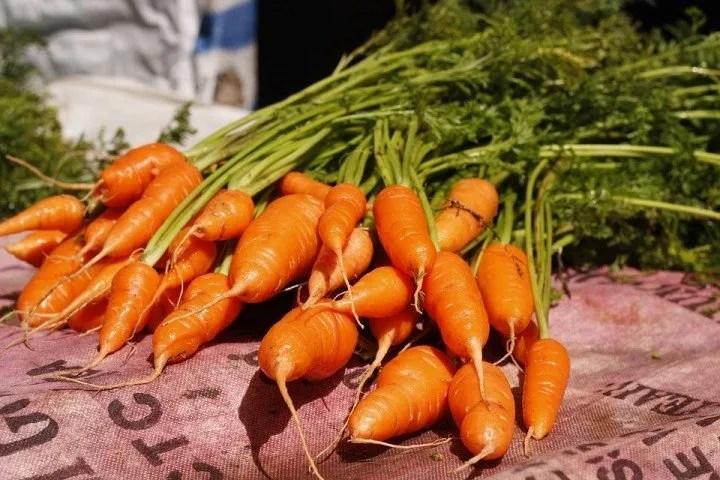 Come seminare e coltivare carote dalla radice ingrossata