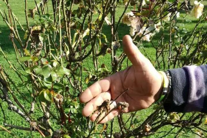 La potatura delle rose appassite