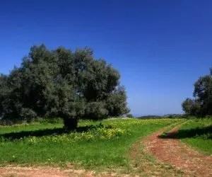 Potatura olivo a cespuglio