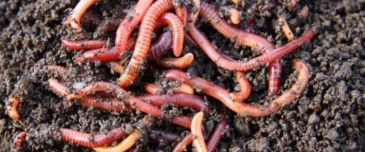 Lombrichi nel compost