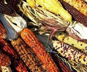 Coltivazione mais