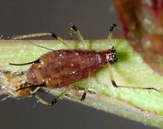 Come eliminare gli afidi specie Macrosiphum rosae