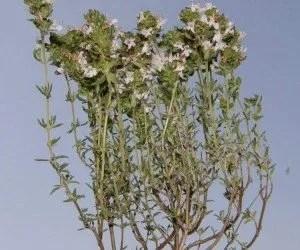 Le caratteristiche botaniche della pianta di timo