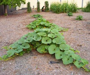 Sesto di impianto della coltivazione della zucca