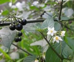 Piante velenose Solanum nigrum