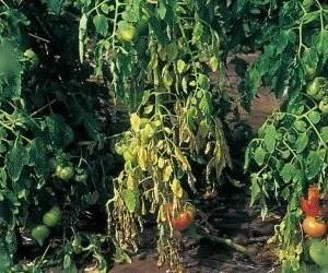 Marciume del colletto del pomodoro