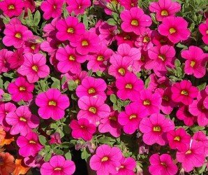 Piante da fiore Calibrachoa Millions Bells