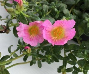 Piante da fiore Portulaca umbraticola