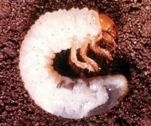 Larva di popillia japonica