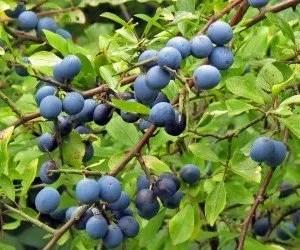 Frutti di prugnolo selvatico