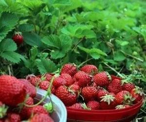 Coltivare piante di fragole