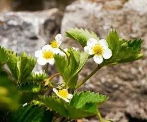 Fiori della pianta di fragole