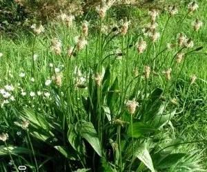Piantaggine di tipo Plantago lanceolata