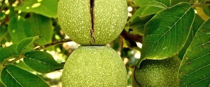 Il noce. Caratteristiche dell'albero e tecniche di coltivazione