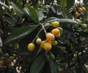 Frutti acerbi di nespolo giapponese