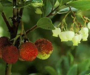 Fiori e frutti di corbezzolo