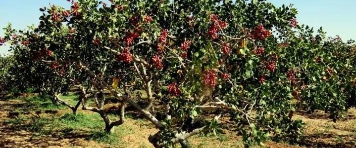 L'albero di pistacchio, caratteristiche botaniche e coltivazione