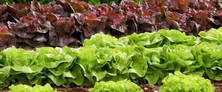 Lattuga, la scelta della varietà giusta e la coltivazione biologica