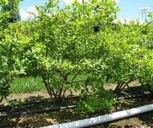 Irrigazione pianta di mirtillo