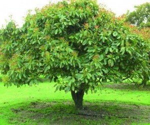Avocado giovane albero