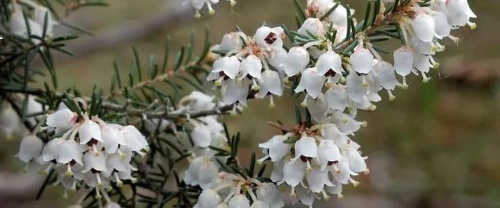 Fiori di Erica arborea