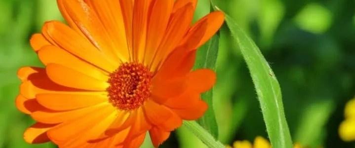 Calendula officinalis, le proprietà della pianta e come coltivarla