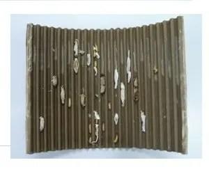 Larve di carpocapsa intrappolate nella fascia di cartone ondulato