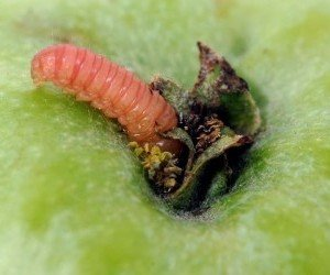 Larva adulta di Carpocapsa