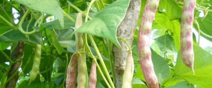 Come coltivare i fagioli nell'orto domestico. Semina e cure colturali