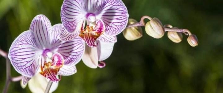 Le orchidee, come coltivarle in vaso e in giardino