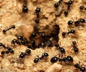 Formiche entrano nel formicaio