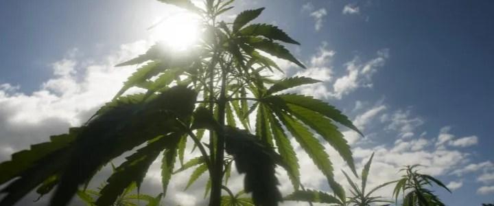 Migliore Cannabis light