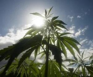 Cannabis light al sole