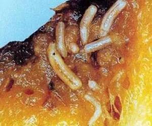 Larve di mosca orientale della frutta