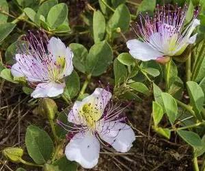 Pianta di capperi in fioritura