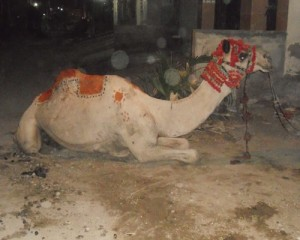 eid5_our neighbours camel for sacrifice. We have been invited to attend this ceremony