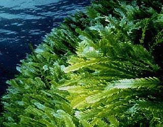 Image results for Killer algae