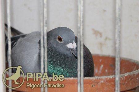 duiven_op_nest3