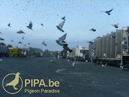 concursuri porumbei pipa