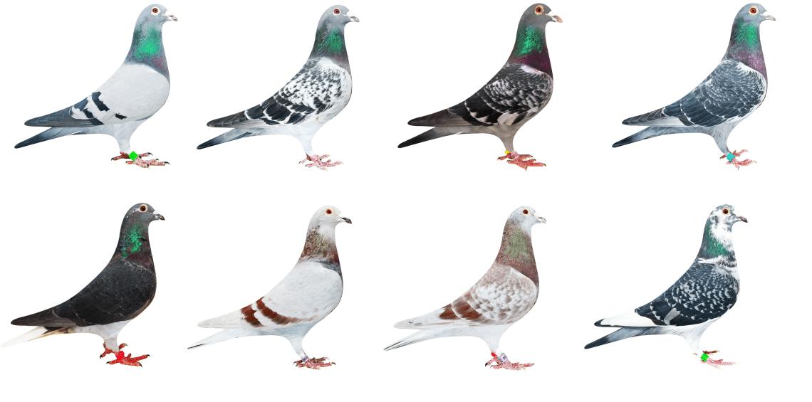 Culorile-porumbeilor