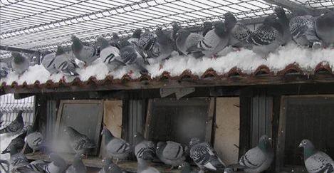 porumbei iarna